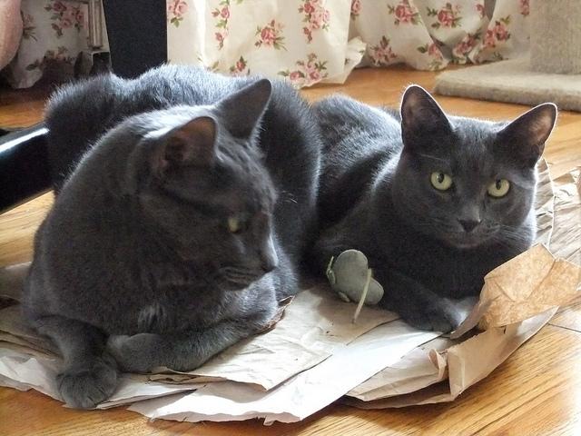 Mockicats